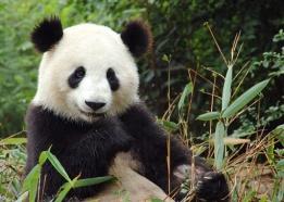 Панда тур
