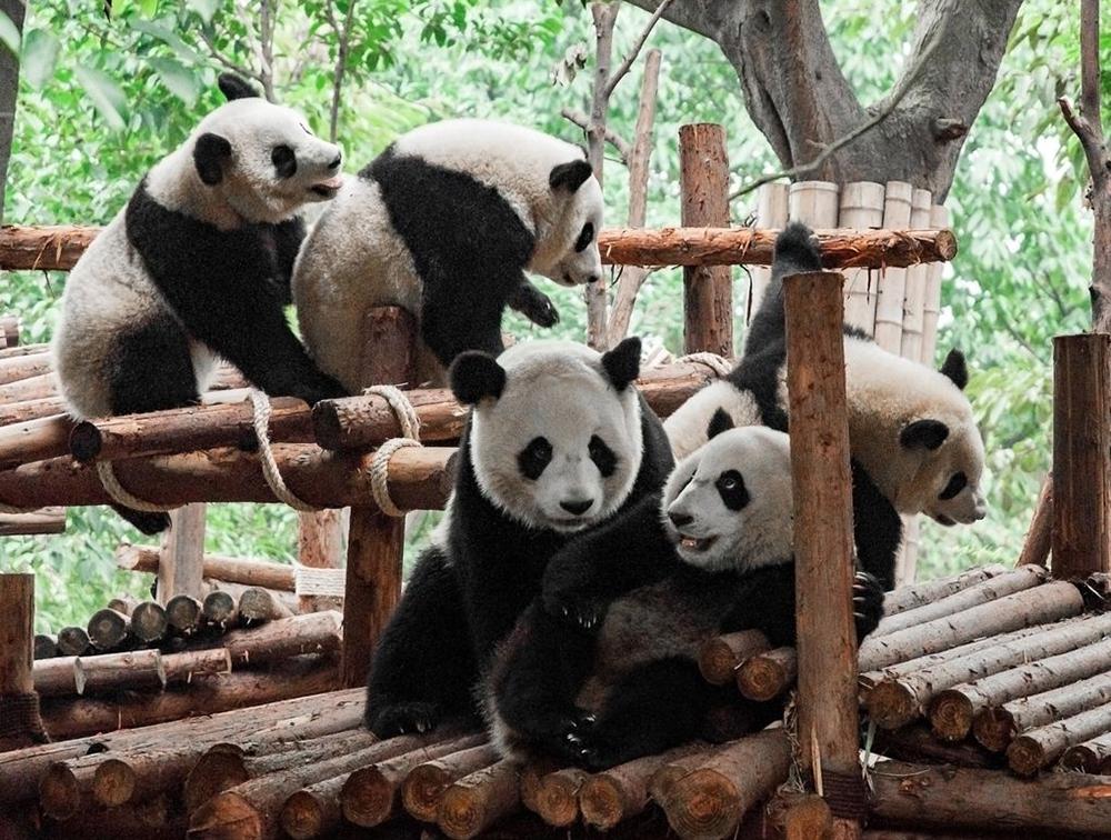 Исследовательский питомник гигантской панды в Чэнду